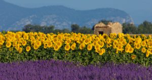 Lavender and sunflowers in Provence, France