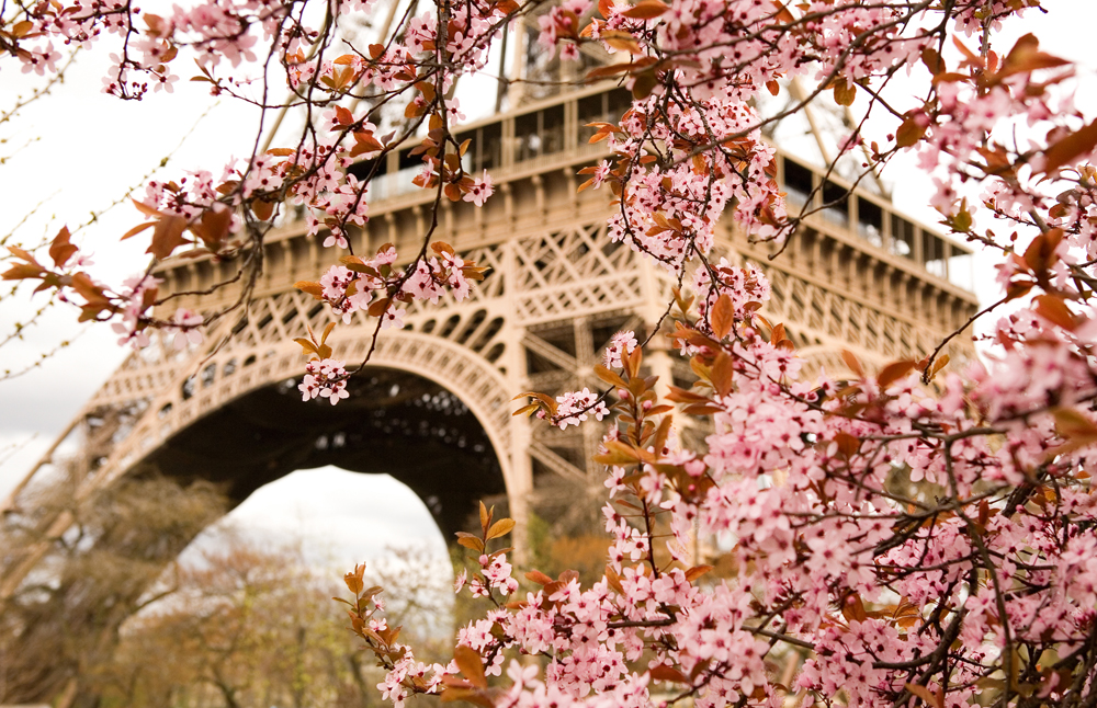 Cherry Blossom in front of the Eiffel Tower