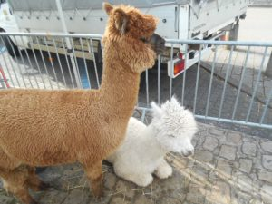 Alpacas at Tonnerre Wine Festival
