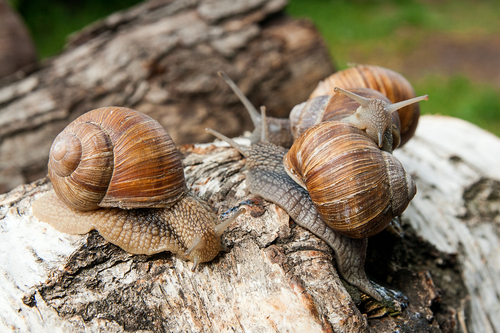 Live Burgundy snails crawling across tree trunk