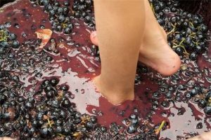 Pair of feet in a stomping on red grapes in Provence