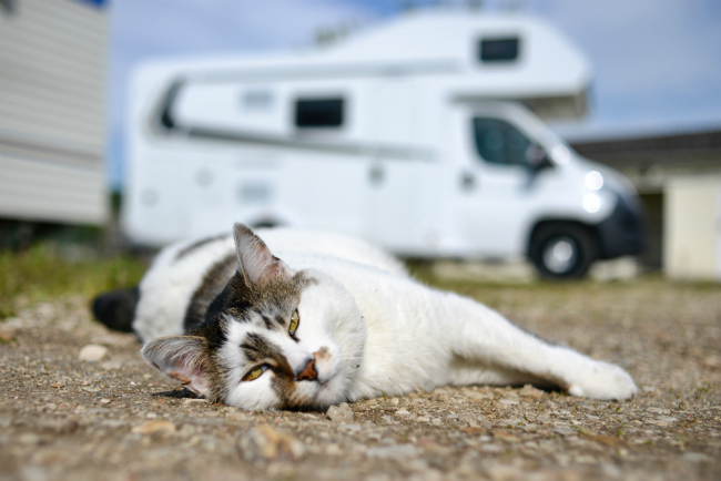 No pets inside! A large white and tabby cat lying on the ground with RV, motorhome in backgroun