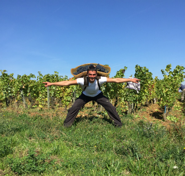 Man in France collecting grapes in a basket on his back