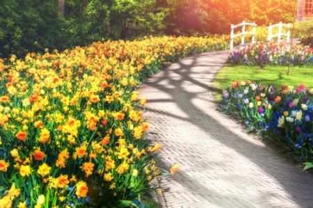 Spring daffodills along a roadside
