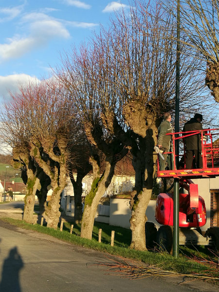 Plane trees before pollarding